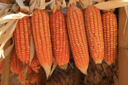 Golden dried corns hanging in rows for background. Stock Photo