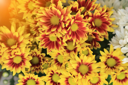 Colorful chrysanthemum flowers bouquet with light flare for background.