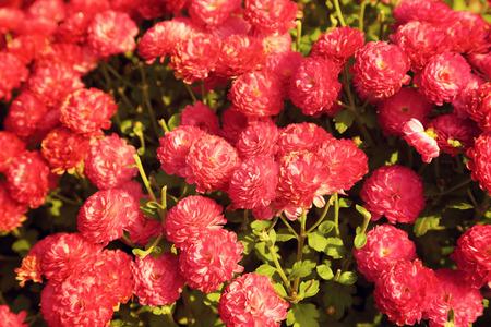 Pink chrysanthemum flowers garden in warm light vintage toned. Stock Photo