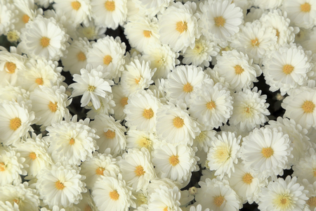 Top view of white chrysanthemum flowers bouquet for background.