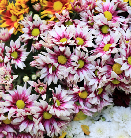 Colorful chrysanthemum flowers bouquet for background. Stock Photo