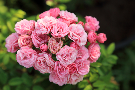 Fresh pink roses bunch with dew drops in morning garden.
