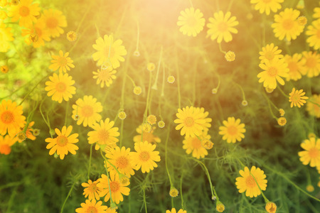 Yellow flowers field with warm light flare for background. Stock Photo
