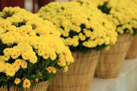 Yellow chrysanthemum flowers in flowerpot, perspective arrange.