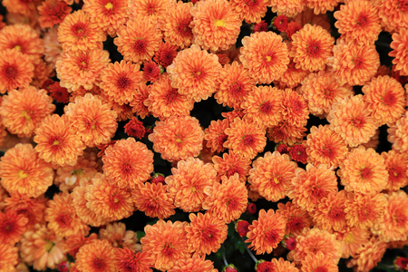 Top view of orange color chrysanthemum flowers bouquet with water drop, spring freshness background.