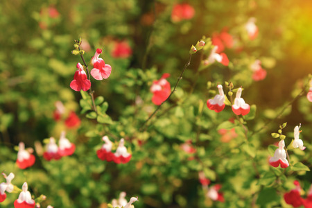 Bright red and white flowers of Salvia microphylla Hot Lips cultivar of the mint family famous add to the garden flowerbed in spring and summer.