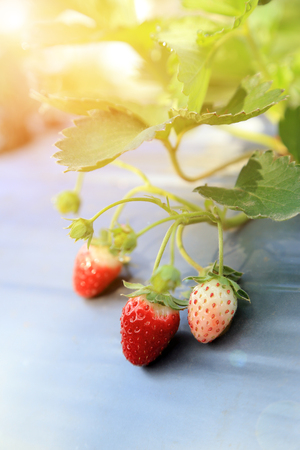 Bunch of young and ripe strawberries fruits growth in plants with warm flare light.
