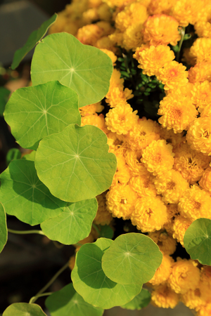 Green water pennywort plant leave and yellow chrysanthemum flowers in sunlight, natural garden background.