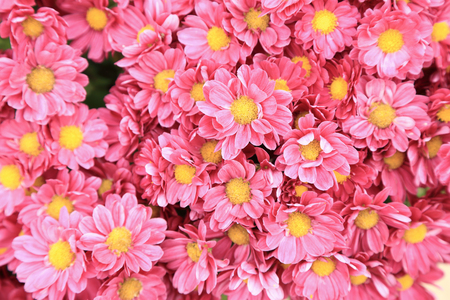 Top view of pink chrysanthemum flowers bouquet for background.