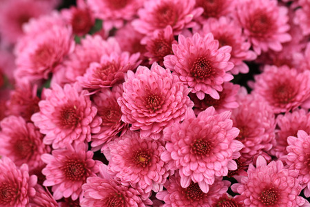 Pink chrysanthemum flowers bouquet for background.