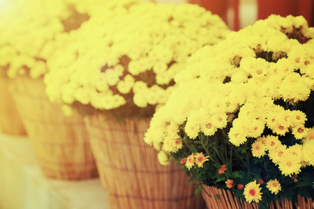 Yellow chrysanthemum flowers in flowerpot with warm light vintage toned, perspective arrange. Stock Photo