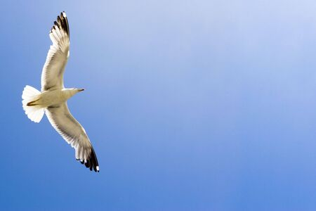 Flying seagull on blue sky, ready for your text Stock Photo