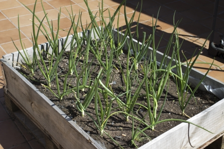 Growing onions in a wooden box Stock Photo