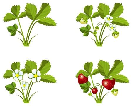 Four phases of strawberry sprout growth   Illustration
