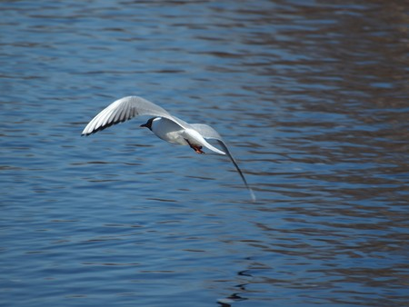 onega: The seagull in flight above the river