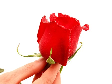 Rose and arm on a white background            Stock Photo