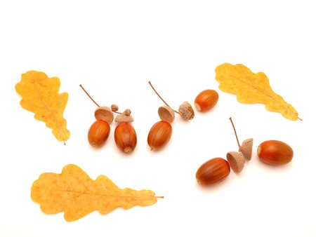 Acorns and leaves on a white background   photo