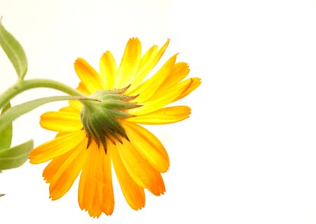 Flower on a white background         photo