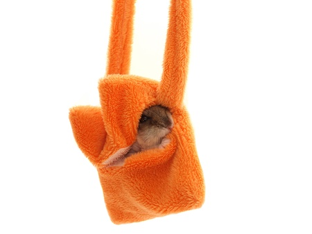 Hamster in a handbag on a white background        photo