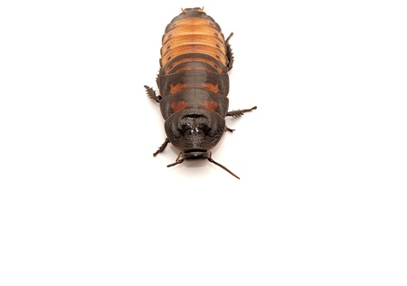madagascar hissing cockroach: Madagascar cockroaches on a white background