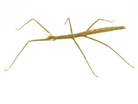 Carausius morosus on a white background