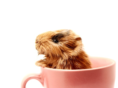 Baby guinea pig in the tea cup