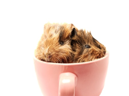christmas guinea pig: Baby guinea pig in the tea cup