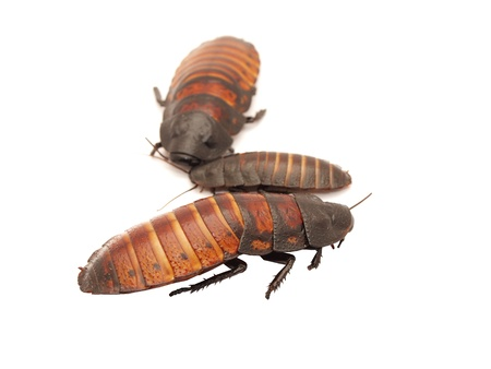 scavenging: Madagascar cockroaches on a white background