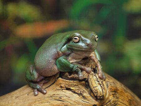 vivarium: Whites Dumpy Tree Frog on a branch Stock Photo