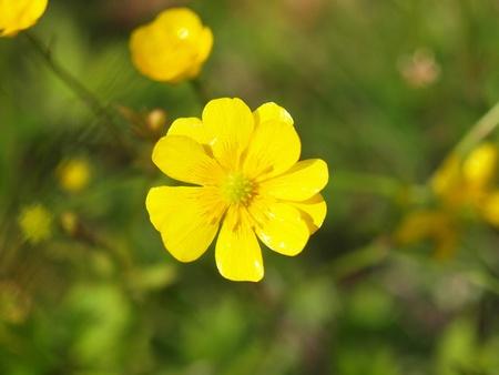 buttercup flower: yellow buttercup flower the spring (Potentilla recta)