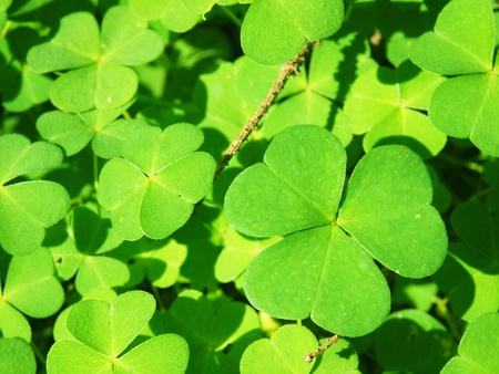 Common wood-sorrel (Oxalis acetosella) background  photo
