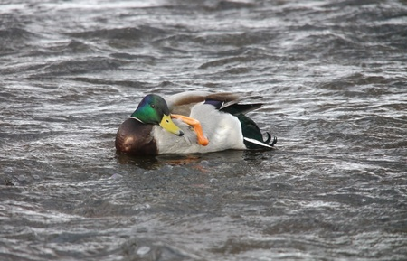 Ducks on the river in winter  photo