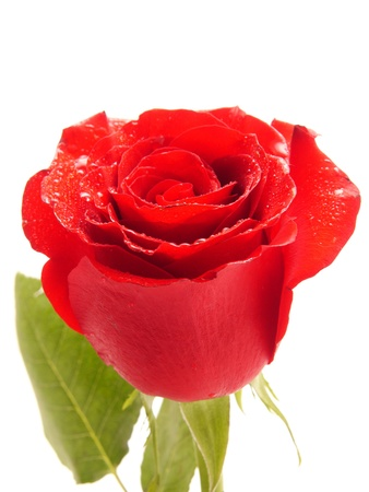 Rose on a white background photo
