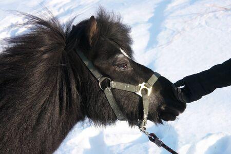 Portrait of a black pony winter  photo