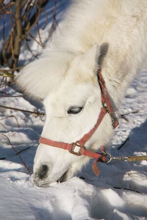 Portrait of a white pony in the winter  photo