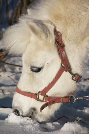 Portrait of a white pony in the winter Stock Photo - 9172815