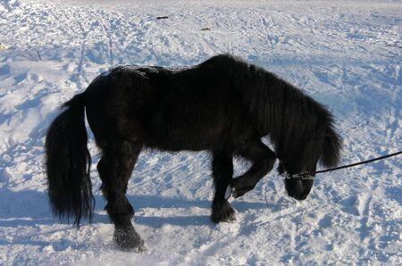black pony in the snow photo
