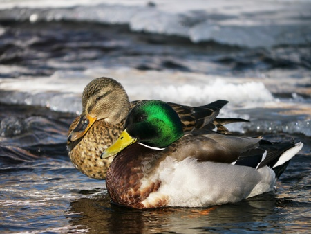 Duck on the river in winter  photo