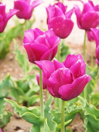 Beautiful tulip photo
