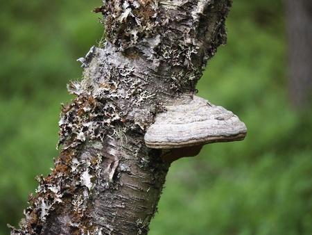 Fungi a tinder