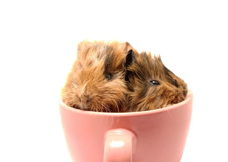 Baby guinea pig in the tea cup  photo
