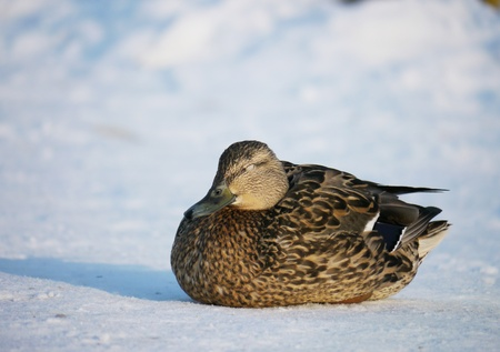 color image mallard duck: Duck on the river in winter