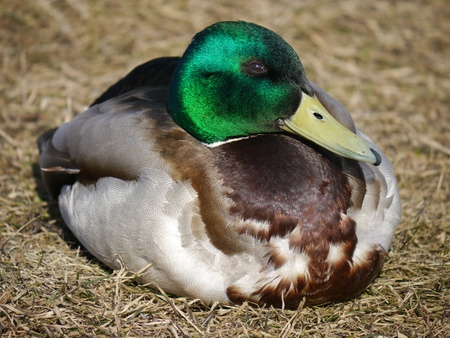 reflexive: duck in the grass in spring  Stock Photo