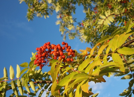 bunchy: rowan berry  Stock Photo