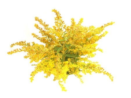 Blooming goldenrod plant isolated on white background
