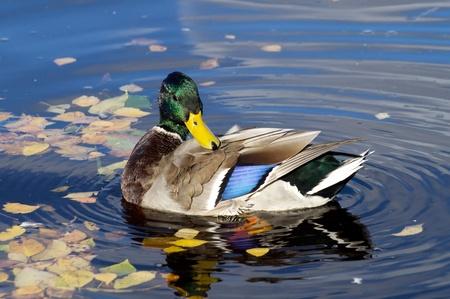 pato real: Pato en el lago