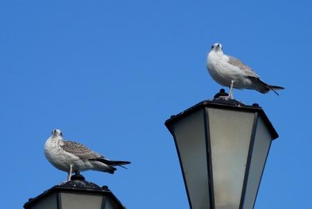 Two seagulls on lantern photo