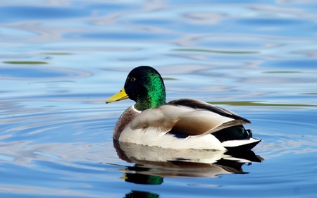 birder: duck on the lake