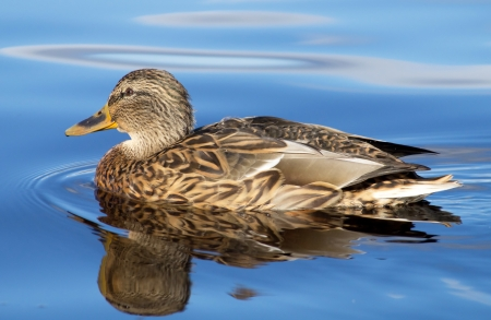 widespread: duck on the lake