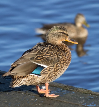 duck on the lake photo